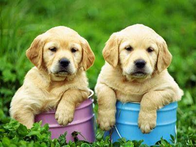 cachorros perros labradores