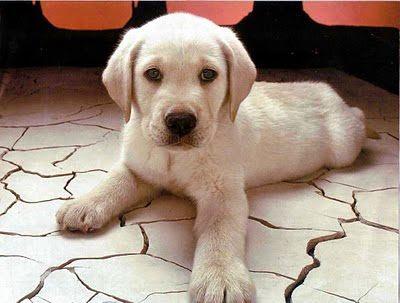 comprar perros labradores , adopción de perros