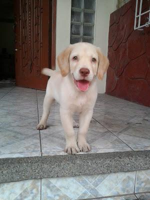 perros labradores, adopcion de perros