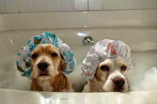 perros labradores en la bañera