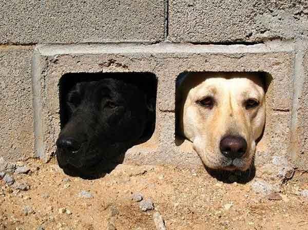 labradores escondidos
