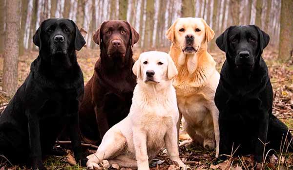 caracteristicas perro labrador